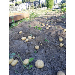 Patate Gialle Monalisa conf. 1kg